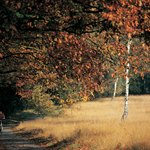 Hoge Veluwe, golden in autumn.